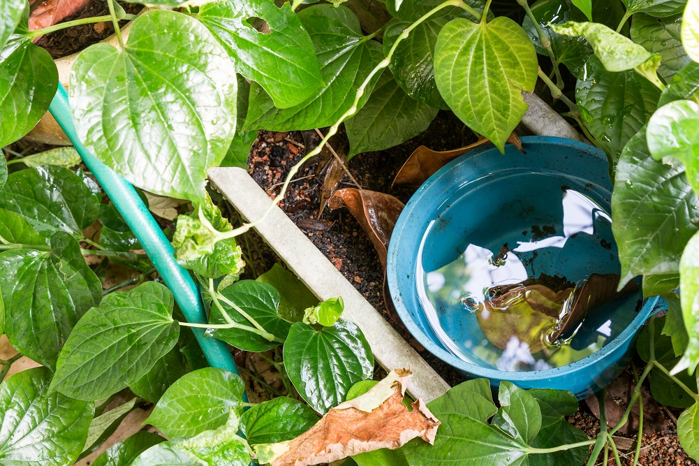 small plastic flowerpot breeding mosquitoes in stagnant water after rain