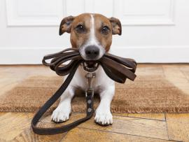dog holding leash getting ready for a walk