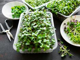 View of microgreens growing in a container, micgoreens served to eat fresh in a bowl and a pair of cutting scissors, all together on a table.