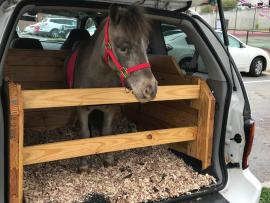 cash the mini horse in the back of the mini van that has been transformed into a mobile stall
